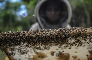 Un apicultor organiza un panal en la comunidad de Chengue, municipio de Ovejas.
