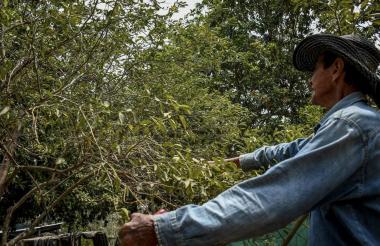 Un campesino corta las ramas de un árbol infectado con la plaga conocida como dragón amarillo.