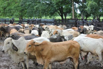 Ejemplares de ganado bovino colombiano.