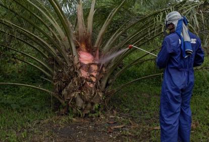 Operario fumiga una planta de palma de aceite.