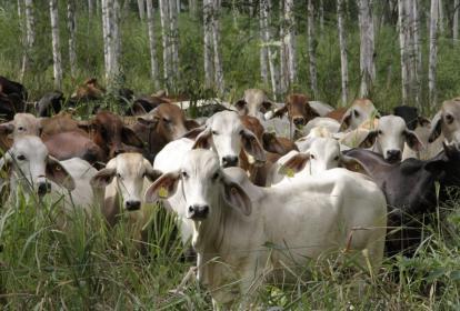 Se impulsa el modelo de producción silvopastoril, basado en maderables asociados a pasturas y leguminosas como la leucaena, para comodidad del ganado.