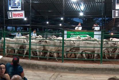 Esta subasta se destaca por el ganado comercial, Cebú y de color de excelente calidad.