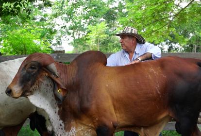 Rolando Manjarrés Charris, en Malambo, Atlántico, realiza como actividad principal, ganadería en doble propósito, e incursionó en la siembra de mango.