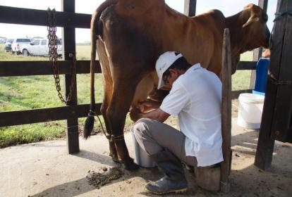 Una vaca es ordeñada en un establo en Córdoba.