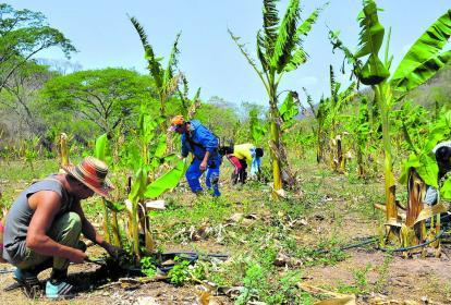 Atrás quedaron los fusiles y las minas antipersona, ahora un grupo de excombatientes siembra plátanos en la Serranía del Perijá .
