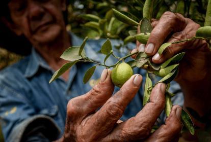 Un campesino muestra una de las hojas de una planta de limón afectada por el 'dragón amarillo'.