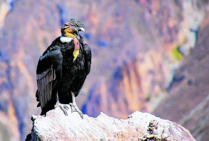 Vultur gryphus o cóndor se encuentra en los listados de peligro crítico de extinción de nuestro país.