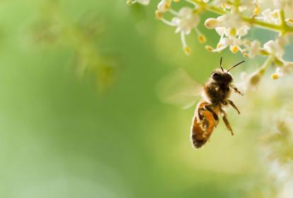 Las abejas están en el foco de los científicos.
