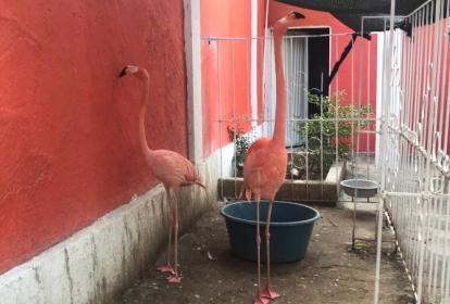 Los dos flamencos rosados incautados en un centro recreacional de Bosconia, Cesar.