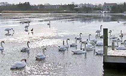 """Nueva York pretende eliminar sus 2.200 cisnes por ser una """"especie invasora"""""""