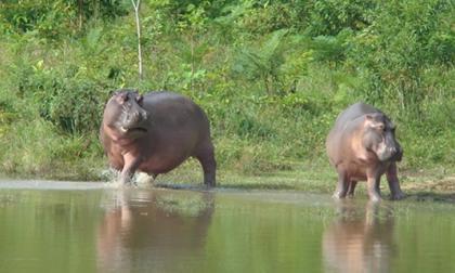 Procuraduría insta a autoridades ambientales a que tomen medidas por fuga de hipopótamos