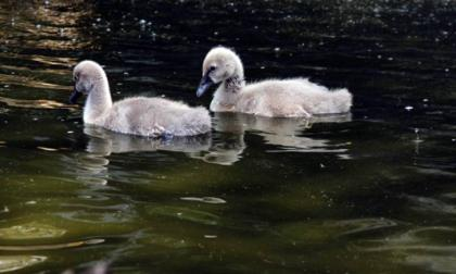 Un mes cumplen dos cisnes negros nacidos en 'El Oasis' de la terminal de cruceros de Cartagena