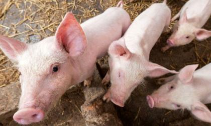 Fijados requisitos a granjas para certificado libre de síndrome porcino