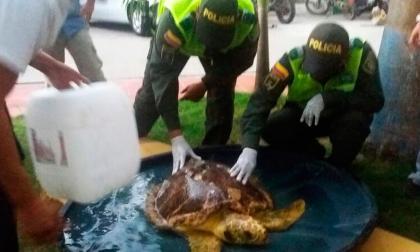 Uniformados de la Policía Ambiental y pescadores atienden a la tortuga recuperada.
