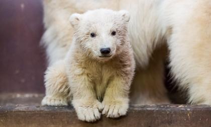Conmoción en Berlín por la muerte del oso polar Fritz