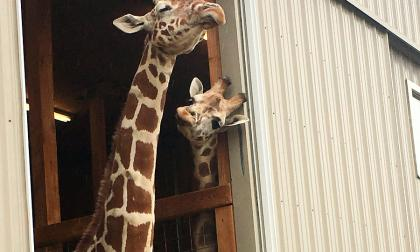 El embarazo de una jirafa desata la locura en las redes