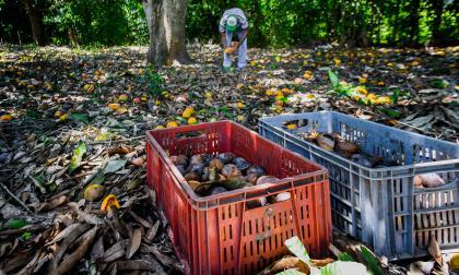 La pudrición se 'come' los mangos en Pendales
