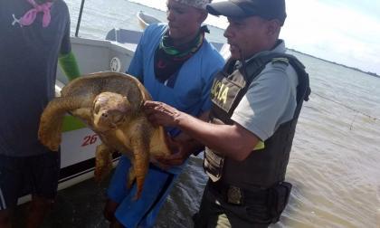 Tortuga carey hallada muerta en playa de Santa Verónica.