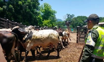 Así se mueve el contrabando de ganado y combustible de Venezuela al Cesar