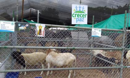 La ovinocultura es una de las opciones escogidas.