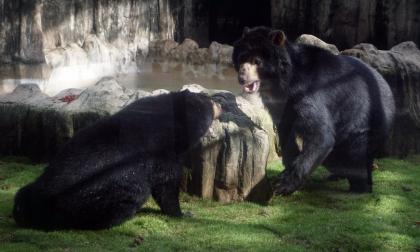 El oso 'Chucho' ya está con su compañera en el Zoológico de Barranquilla