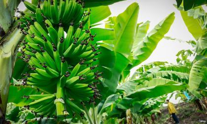 Cultivos de plátano en la región Caribe.