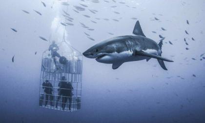 Se sumergen en el mar dentro de una jaula para fotografiar a un enorme tiburón