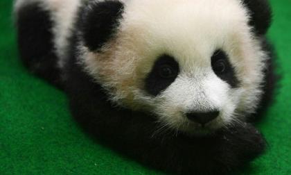 La hembra  panda de cuatro meses recibirá su nombre en concurso por internet.