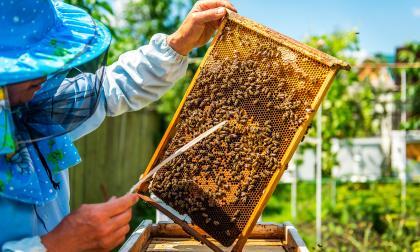 Las picaduras de 300 a 400 abejas en personas no alérgicas, suelen ser letales.