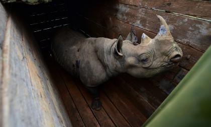 En video | Primeros embriones in vitro para preservar el rinoceronte blanco del norte