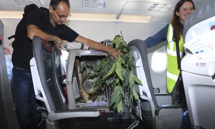 Un koala viaja a Escocia en un avión junto al resto de pasajeros