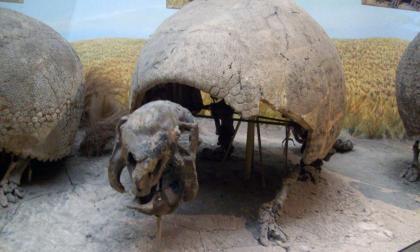 Hallan nuevos fósiles de gliptodontes en Bolivia
