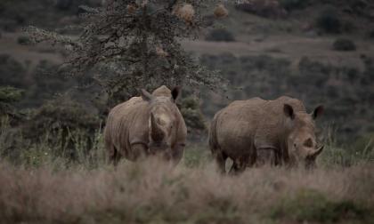 En video | Así fue la trágica muerte de 11 rinocerontes en Kenia