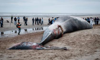 Ballena de 18 metros aparece muerta