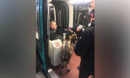 Vio una cabra cerca del museo de Louvre, la robó y se la llevó en el metro de París