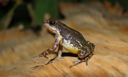 Descubren nueva especie de sapo miniatura en Venezuela