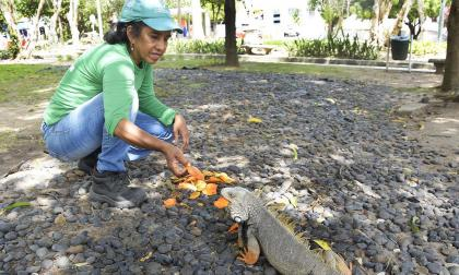 Maribel alimenta con conchas de frutas a una iguana del Parque Santander, en el norte de Barranquilla.
