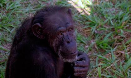 La diversidad cultural de los chimpancés está siendo amenazada por los humanos, según estudio
