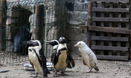 El insólito pingüino albino que causa sensación en Polonia