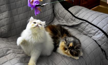 Aunque parecen muy independientes, los felinos necesitan que sus dueños los cuiden.