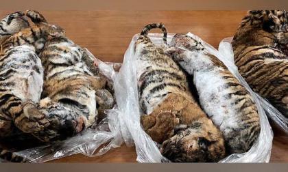 Hallan en un carro a siete tigres congelados