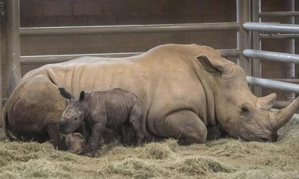 Rinoceronte blanco del sur nacido en zoológico en EEUU podría ayudar a salvar subespecie