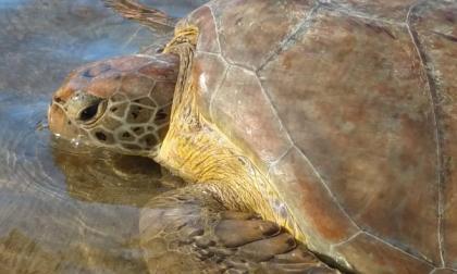 En video   Turistas salvaron una tortuga de mar en el Cabo de la Vela