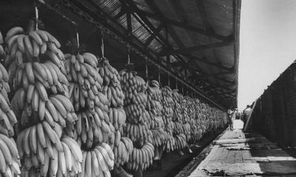 Racimos de plátanos  de la United Fruit.