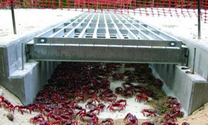 Ingenieros sugieren rejillas en box culvert para paso de cangrejos