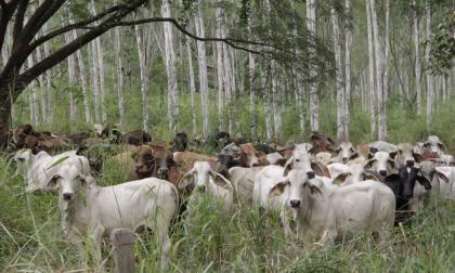 Este proyecto tiene múltiples efectos positivos, porque los ganaderos ganan más, mejoran su productividad, y contribuyen con el medio ambiente.