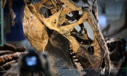 Los T-Rex enanos probablemente no existieron, según estudio