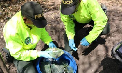 En video   Hallan caleta y cristalizadero para el procesamiento de cocaína en Ponedera