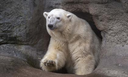 Aumenta canibalismo entre osos polares, dicen científicos