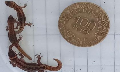 En video | Registran presencia en el Tayrona del lagarto más pequeño del mundo